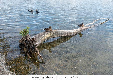 Two Ducks On A Dead Tree