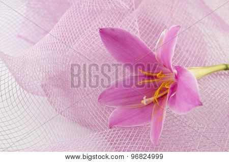 Pink Lily Flower With Pink Background