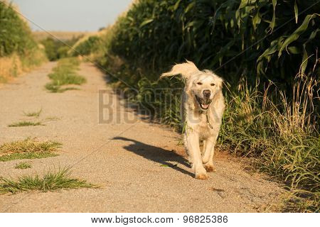 Golden Retriever Walking Along Corn Fields
