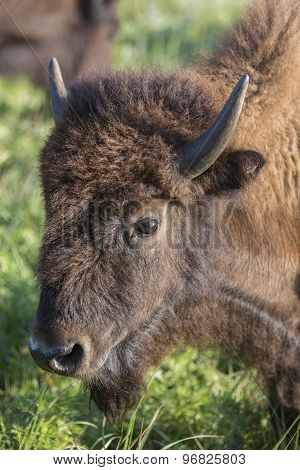 American bison cow head