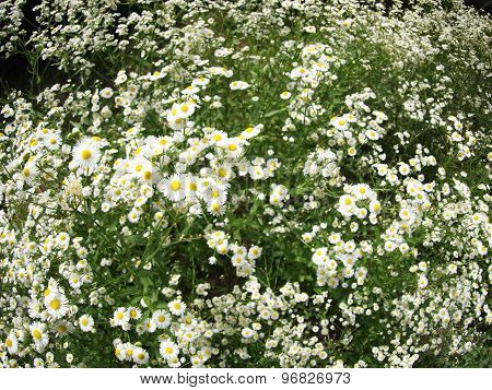 Large Field Overgrown With Small White Daisy Flower