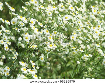 Large Field Overgrown With Small White Daisy Flowers Closeup
