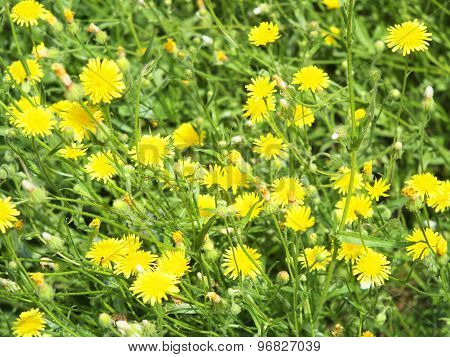 Thickets Of Small Yellow Flowers Picris Rigida At Forest Lawn