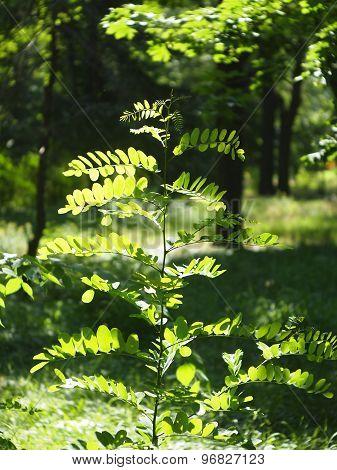 Young Sapling Acacia, Illuminated Bright Sun