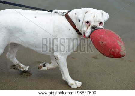 Beautiful Dog With Red Ball
