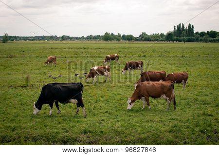 Milk cows in pasture