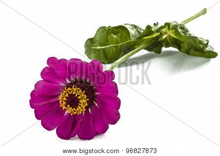 Flower Of  Zinnia, Isolated On White Background