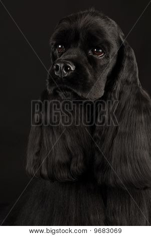 Cocker Spaniel Head Portrait