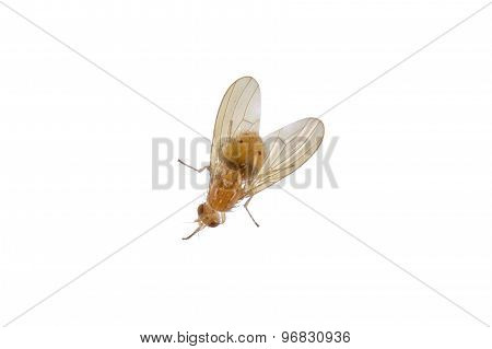 Yellowish Fly On A White Background