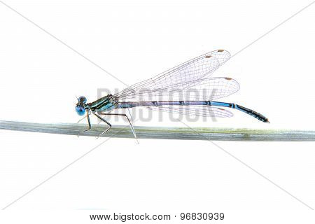 Blue Dragonfly Sitting On A Straw On A White Background