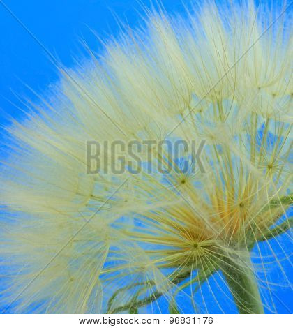 Close up shot of Dandelion blue background
