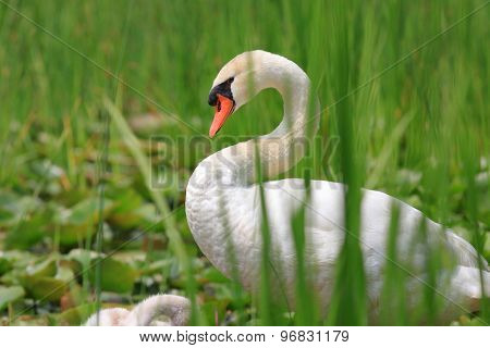 Swan with baby swans in the marsh