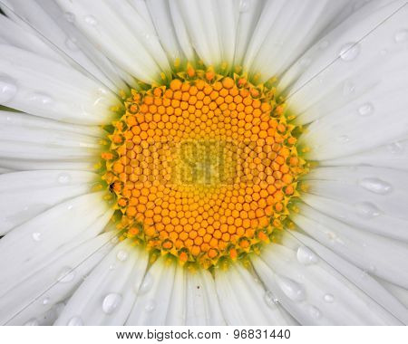 Close up shot of white Daisy flower