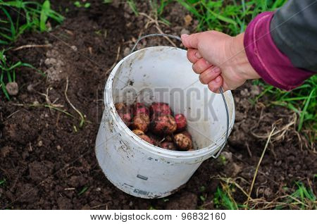 Harvesting Of Young Fresh Potatoes With Plastic Bucket