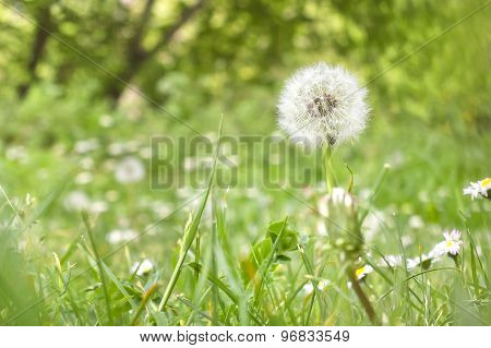Closeup dandelion - Taraxacum officinale