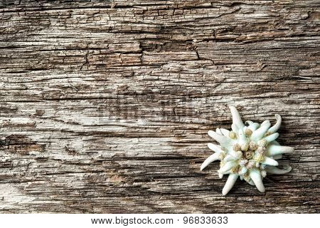 Edelweiss (leontopodium alpinum) on wooden background