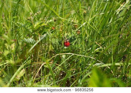 Bush of strawberry in the field