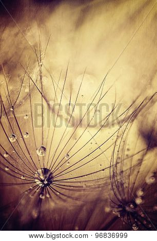 Dandelion flowers background, grunge abstract natural backdrop, dew drops on dry flower head, beautiful floral wallpaper