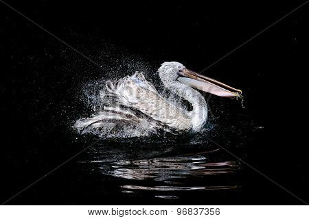 Pelican in pond