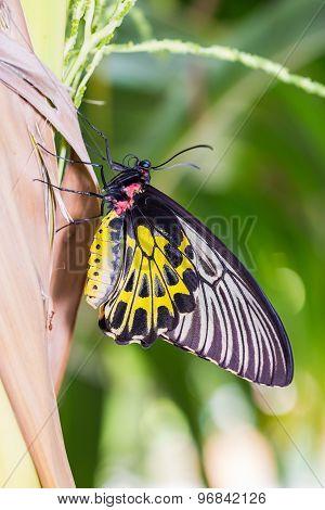 Golden Birdwing Butterfly