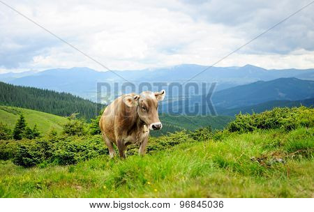 A Cow In The Mountains