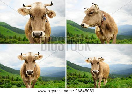 Collage Of Cow In The Mountains