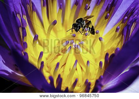 Close up of Beautiful lotus pollen with bee