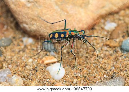 Tiger beetle on ground close up