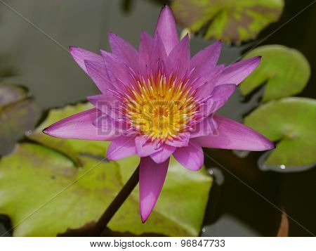 Pink Lotus and Yellow pollen so cute in Te Water