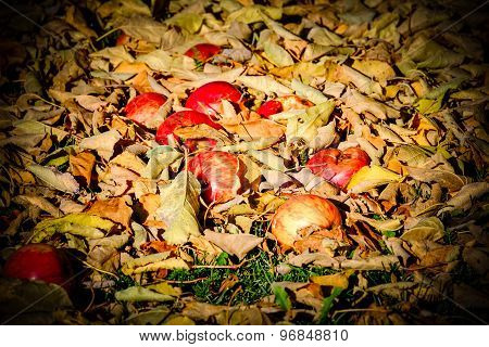 Apples Fallen Down From The Tree Lying Between Dried Up Leafs. Autumn Scenery