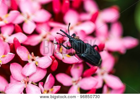 Black Bug On Pink Flower