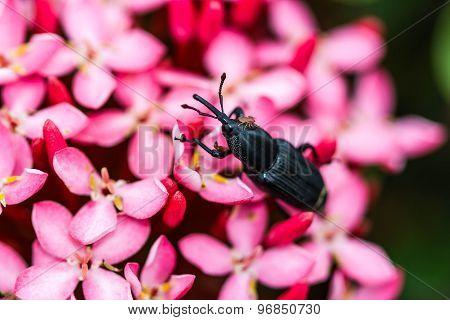 Black Bug On Pink Flower