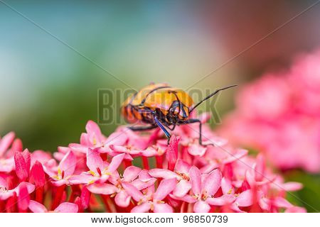 Jewel Bug On Pink Flower