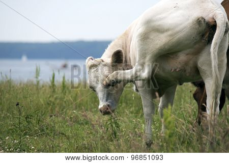 Cow Removes Flies
