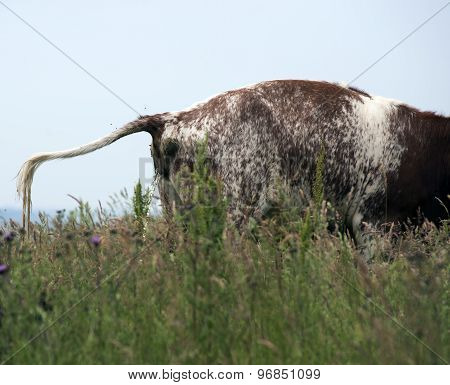 Cow Urinating