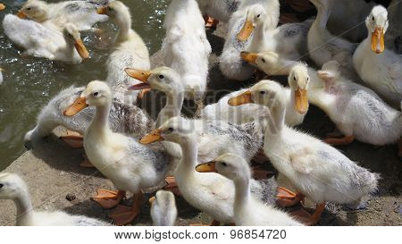 Fluffy Ducklings