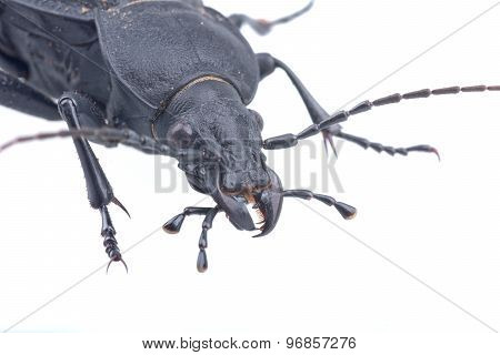 Detail View Of Head Of The Black Bug On A White Background