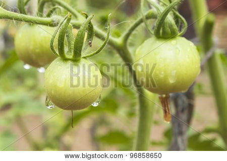 Drops of water after rain on tomato fruit. Unripe green tomato on bushes.