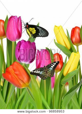 Purple, yellow and red tulips with butterflies