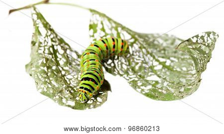 Caterpillar Crawl Across Leaf