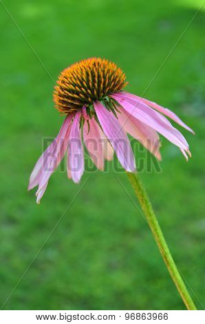 Medicinal plant Echinacea substance - alternative medicine, vitamins