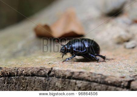 Dung Beetle On Stem