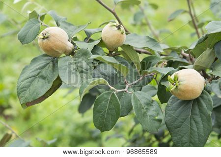 The branch of quince