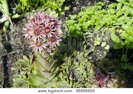 Flower (sempervivum Tectorum)