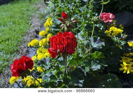 Geranium Flower (pelargonium)