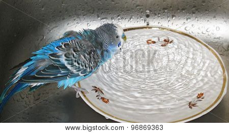 Budgie taking a bath