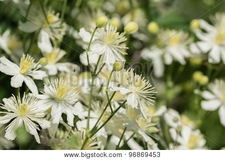 Plant Bush With White Flowers Closeup