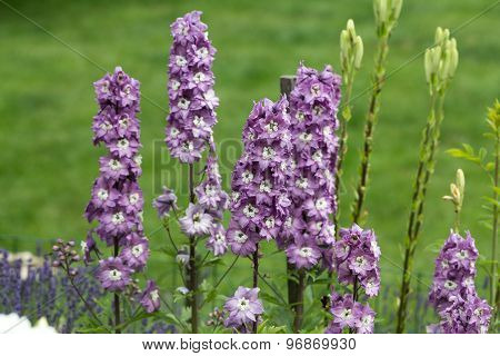 Close up of Purple Delphinium Flower in Garden