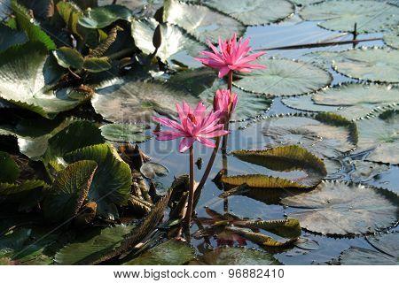 Lotus ponds