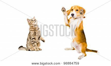 Funny beagle dog and cat Scottish Straight